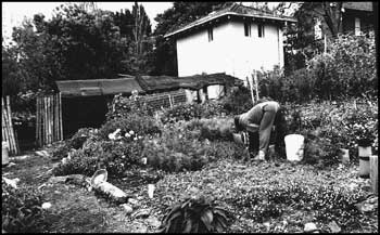 With the entire garden area under cultivation, planting, harvesting, seed saving and maintainence are the major activities at Glovers Community Garden, Sydney.